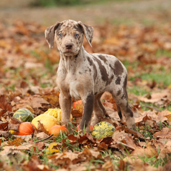Brown dog in leaves